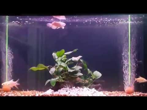 ปลามังกรเขียวมาเลเชีย ตอนเล็ก ๆๆๆ