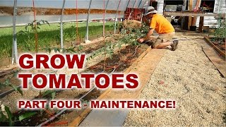 4 - How to Grow Tomatoes - Pruning, Watering, Training, Maintenance