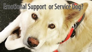 ESA vs Service Dog vs Therapy Dog