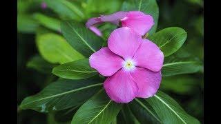 How to Grow Periwinkle/Sadabahar from Cutting | Growing Vinca Rosea