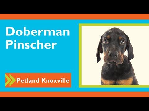 Doberman Pinscher Fun Facts