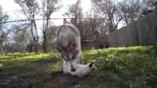 Волчица думает, что котенок ее малыш