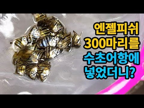 300  ?  !! (300 angel fish) [TV]