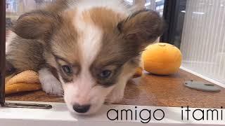 犬種 : コーギー 毛色 : セーブル&ホワイト 性別 : 女の子 生年月日...