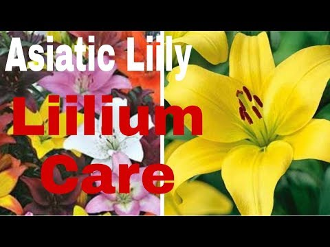 How to care Asiatic Liily/ Liilium (Hindi)