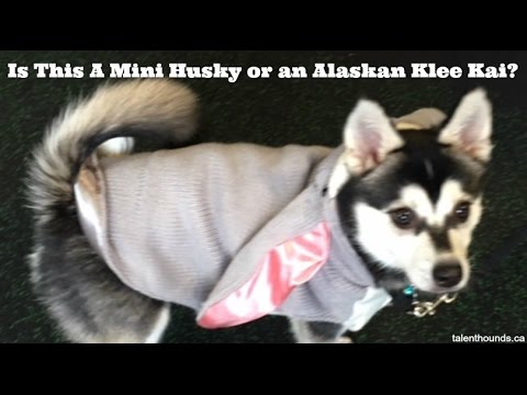 Is Benji an Adorable Miniature Husky Puppy or an Alaskan Klee Kai?