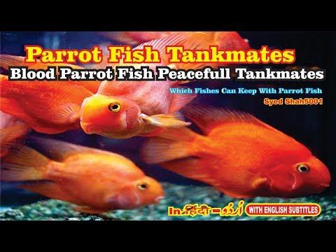 Parrot Fish Tankmates Peacefull Tankmates #Parrotfish