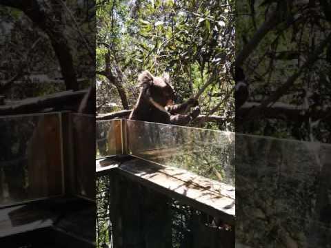 Koala sanctuary on philip island