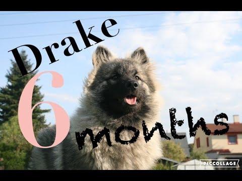 WOLFSPITZ Drake - 6 Months ❤