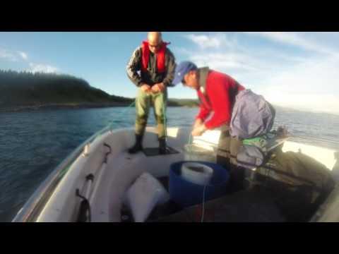 Kveite (Hippoglossus hippoglossus) fangst Bodø, Norway