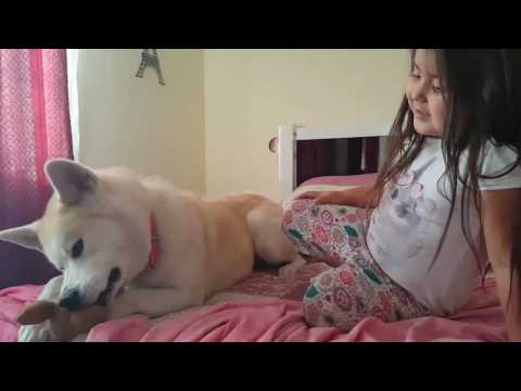 Puppy Akita inu kissing a baby and playing. Las amo