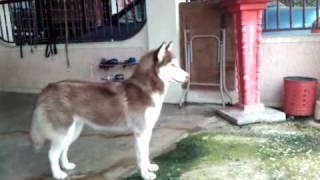 Guard Dog-siberian Husky-lyna