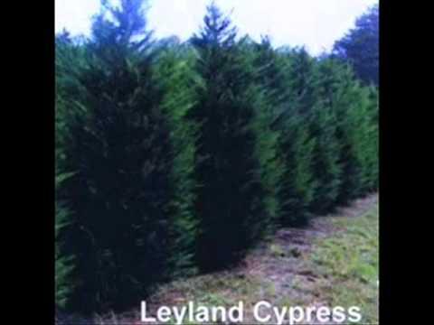 Craigslist Add For Cypresses in Central NJ Leyland Cypress ...