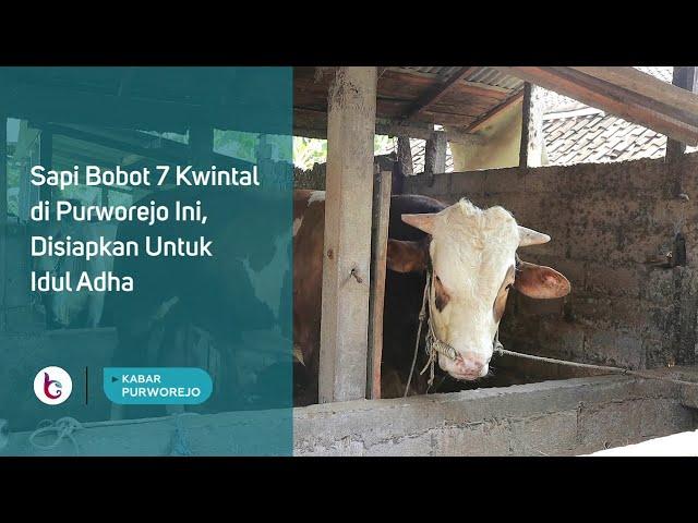 Sapi Bobot 7 Kwintal di Purworejo Ini, Disiapkan Untuk Idul Adha