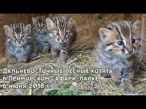 Дальневосточные лесные котята в Приморском Сафари-парке 6 июня 2018 г.