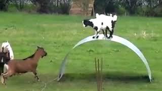 Śmieszne kozy:-)