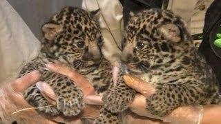 Bayi Jaguar Di Kebun Binatang San Diego