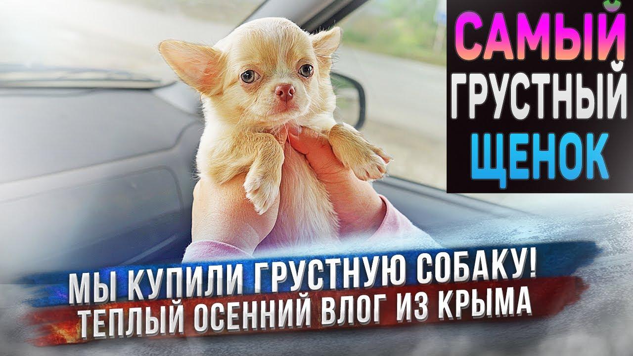Мы купили грустную собаку 🥺 Щенок чихуахуа ехал к нам 2 дня через всю страну. - скачать с YouTube бесплатно