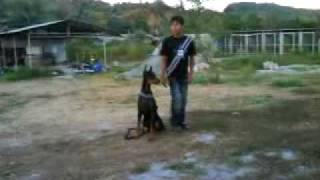Manalo K9 Practice Training With Kane (doberman) Graduated Last January 14,2010