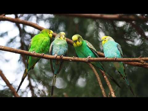 Голоса птиц Как поют Волнистые попугаи (Melopsittacus undulatus)