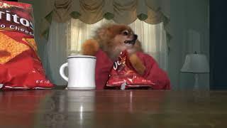 Doritos Super Bowl Dog Commercial 2012 : Tucker The Pomeranian