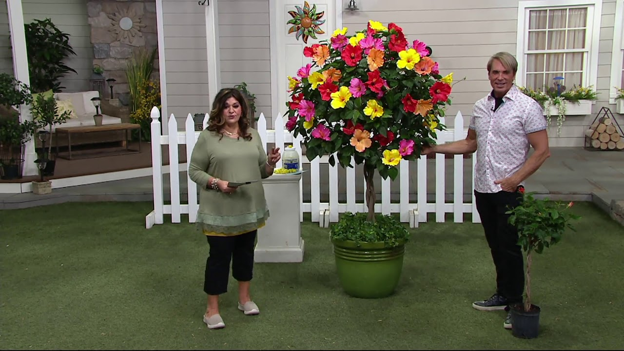 Cottage Farms Tropical Punch Braided Hibiscus Patio Tree On QVC
