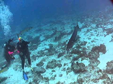 Barracuda Feeding Frenzy