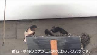 2018-07-21 13:51~15:26武蔵野公会堂ツバメの二番子3兄弟。 連日猛暑で...