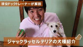 本日はジャックラッセルテリアの犬種紹介です! この動画ではジャックラ...