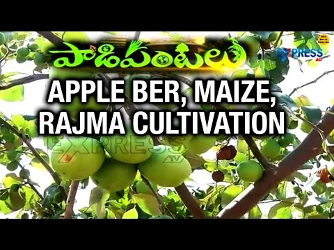 Apple Ber, Rajma and Maize Cultivation : Success Story of Mahabubnagar Farmer - Paadi Pantalu