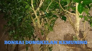 Video Berburu bonsai dongkelan jenis kemuning download MP3, 3GP, MP4, WEBM, AVI, FLV Juni 2018