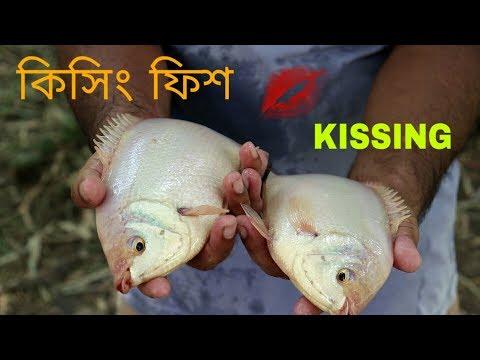 BIG  KISSING FISH & CROCODILE CATCHING DURING VILLAGE POND FISHING