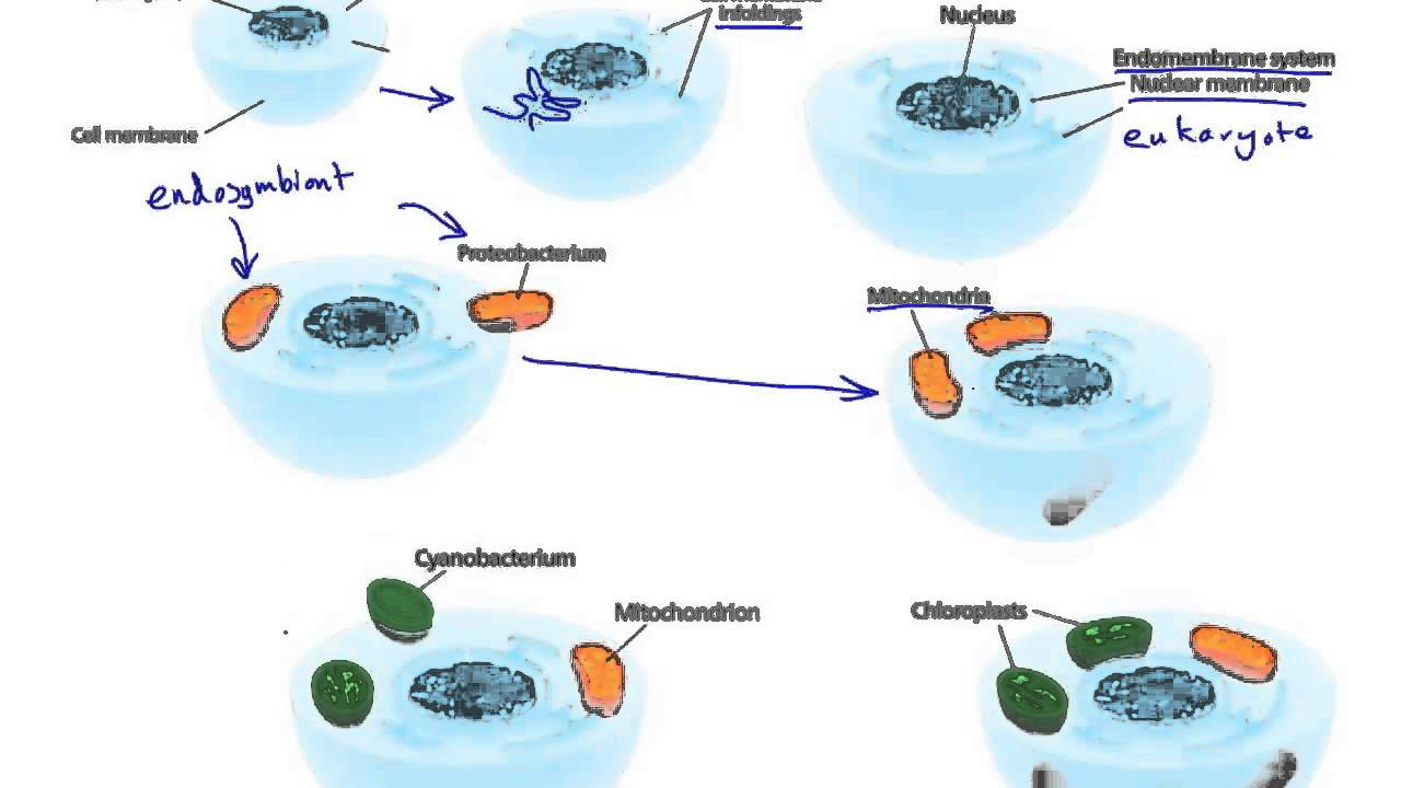 the endosymbiont hypothesis Endosymbiotic theory (discusses the endosymbiont theory of the evolution of flagella, and has more on margulis) hydrogen hypothesis external links.