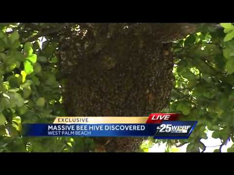 Massive bee hive in discovered in downtown West Palm Beach