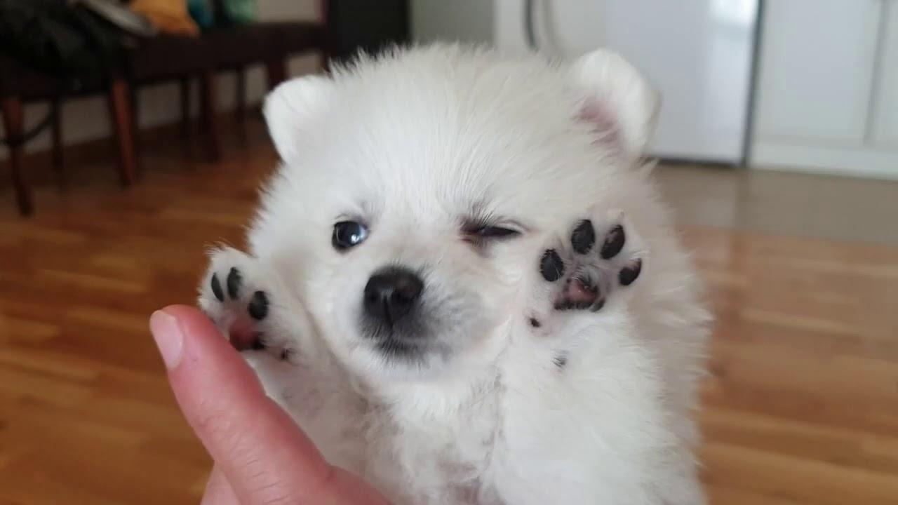 Mini Boo Super White Cute Teacup Dogs