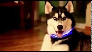 The HALO MINI illuminated collar to keep dogs safe