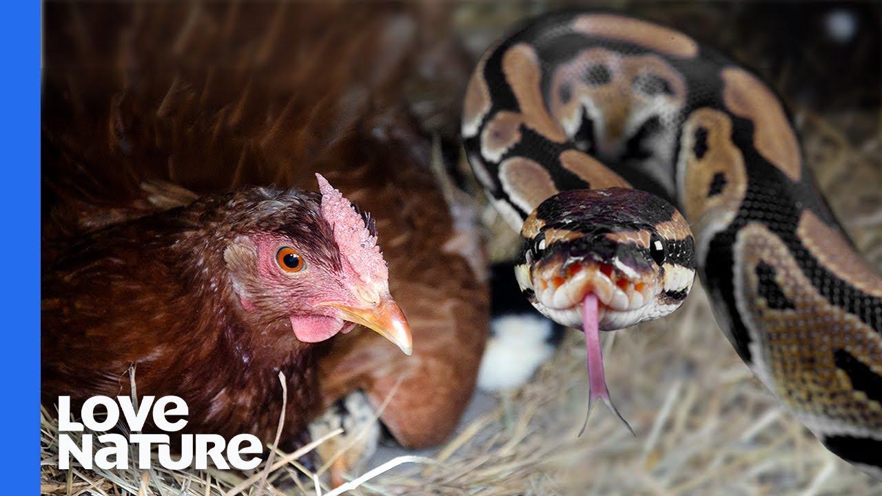 Python vs. Chicken
