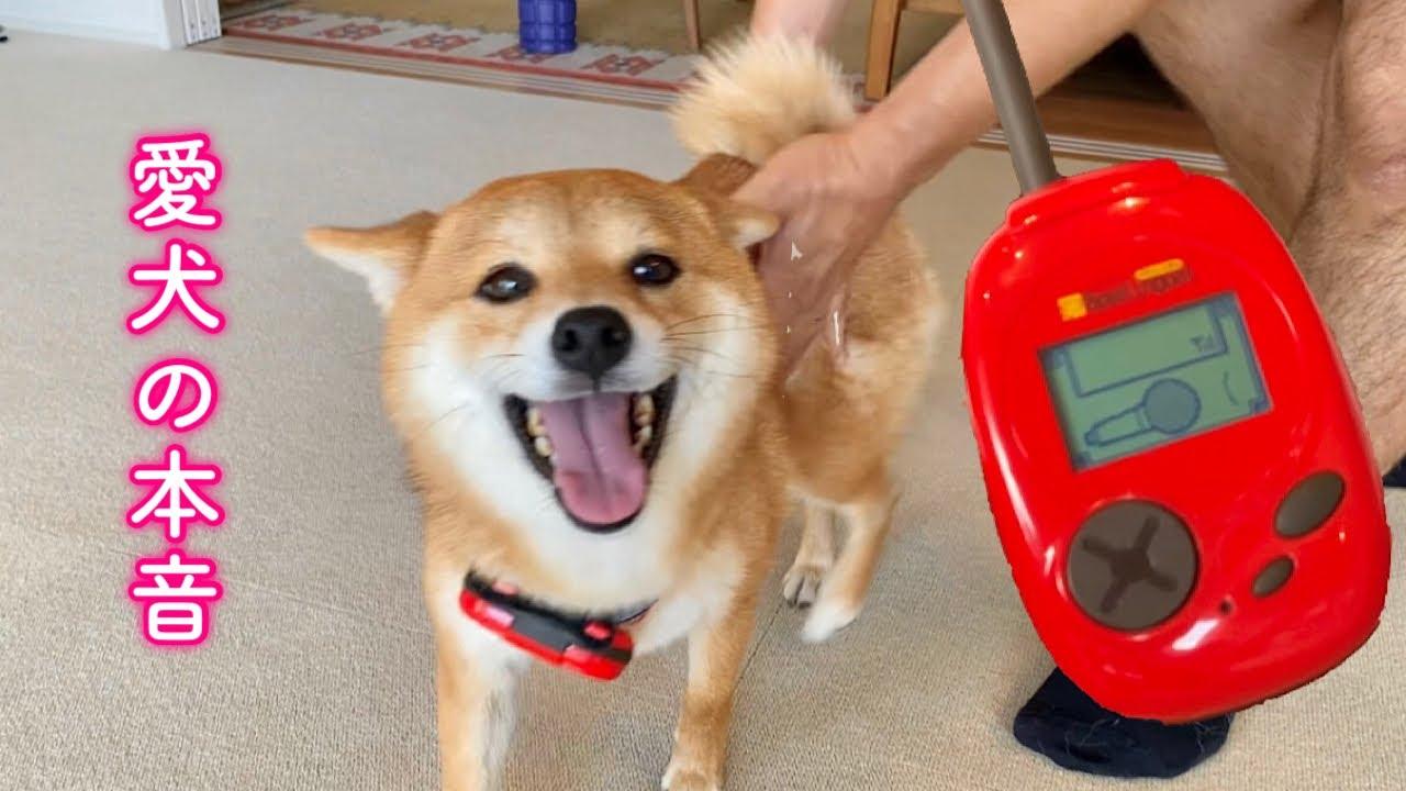 バウリンガルで愛犬の気持ちを理解したらめちゃくちゃ喜んだ柴犬が可愛すぎた!