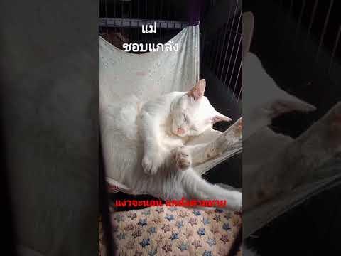 #แมวไทยโบราณ  #แมวไทย #แมวมงคล #ขาวมณี #neko #mao #고양이 #猫