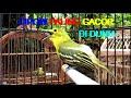 Burung Sirtu Gacor Full Isian Mewah Adu  Sirpu Cipoh Ngegas Suara Kencang Banget  Mp3 - Mp4 Download