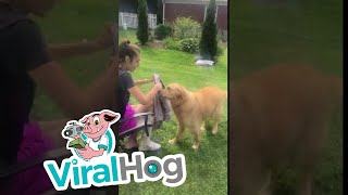 Golden Retriever Fetches Towel for Owner to Dry Him Off || ViralHog