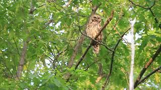 BARRED OWL, FRI. MAY 25, 2018 3687