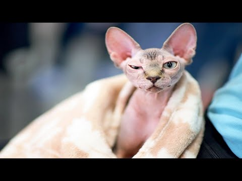 Cutest Sphynx Kittens Doing Funny Things!