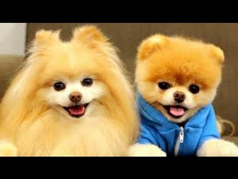 Top 10 cutest  pomeranian puppies barking, playing, smiling, being asleep and making arguement with