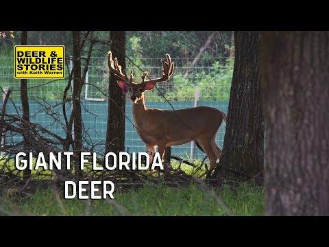 Giant Florida Deer | Deer & Wildlife Stories