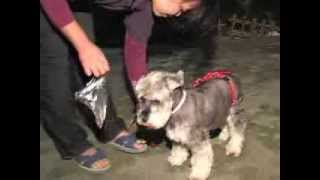 Schnauzer - Can Easy To Familiar With The Pootrap In A Short Time - Pootrap 狗狗犬便圈