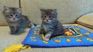 Сибирские котята питомника GLADNESS RAY.Эльбар и Эцио,5 недель.