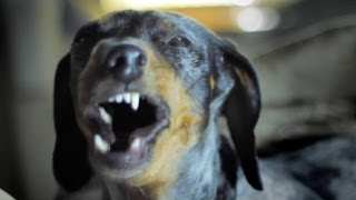 Slow Motion Dachshund Yawn Scary
