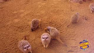 Meet the Meerkats in Little Africa - Official Paulton's Family Breaks