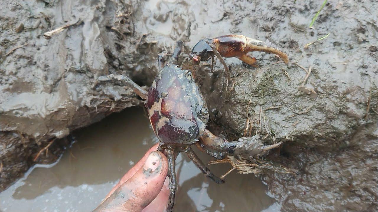 Bắt cua đồng bằng tay không trong hang bạn dám không ?? ai đã từng | crab